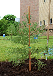 Five young sequoia trees were planted on the east side of the Jo Young Switzer Center.